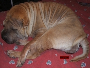 Angie Sharpei couchée