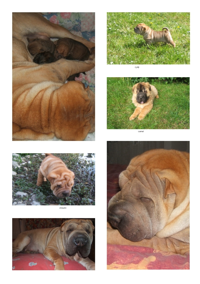 Angie et ses chiots Sharpei