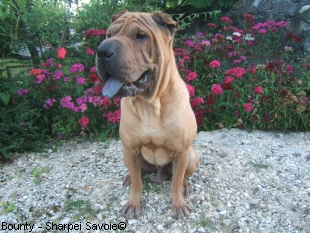 Bounty Sharpei au jardin